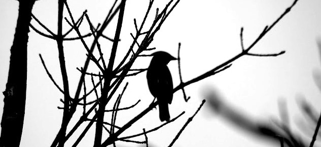 black and white waxwing silloutte